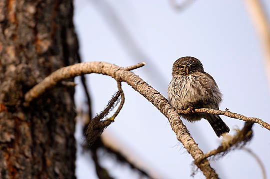 Northern Pygmy Owl, (Glauidium gnome) Perched on tree branch in residential area near Missoula, Montana. Spring.