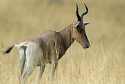 Swayne's Hartebeest, Alceluphus buselaphus swaynei, Senkele Wildlife Sanctuary, Ethiopia, Endemic, Endangered,