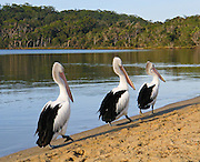 Three Australian Pelicans walk in line on Coalmine Beach, Walpole-Nornalup National Park, in southern Western Australia. The Australian Pelican (Pelecanus conspicillatus), also known as the Goolayyalibee, is widespread on the inland and coastal waters of Australia and New Guinea. Compared to other pelican species, they are medium-sized: 1.6 to 1.8 m (5.25 to 6 ft) long with a wingspan of 2.3 to 2.5 m (7.6 to 8.25 ft) and weighing between 4 and almost 7 kg (9 to 15 lbs). They are predominantly white, with black and white wings and a pale, pinkish bill which, like that of all pelicans, is enormous, particularly in the male.
