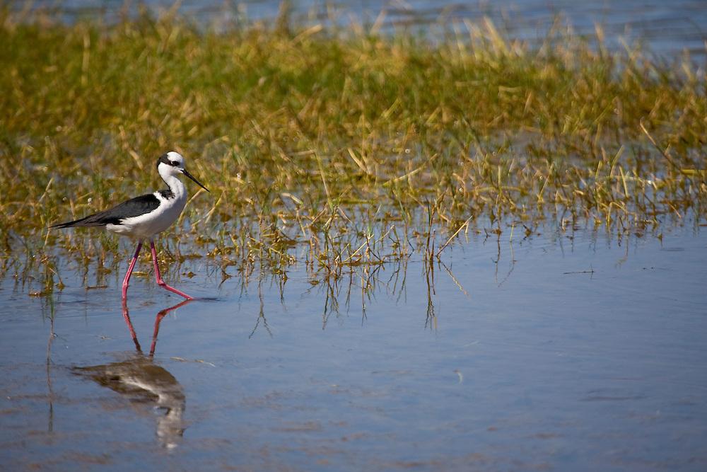 Aquidauana_MS, Brasil...Ave proximo a um lago da fazenda Rio Negro no Pantanal...The bird next to a lake in the Rio Negro farm in Pantanal...Foto: JOAO MARCOS ROSA / NITRO