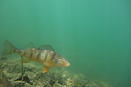 Yellow Perch<br /> <br /> Todd Pearsons/Engbretson Underwater Photography