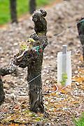 merlot old vine vineyard chateau la garde pessac leognan graves bordeaux france