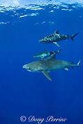 tiger sharks ( Galeocerdo cuvier ), North Shore, Oahu, Hawaii, USA ( Central Pacific Ocean )