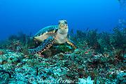 hawksbill sea turtle, Eretmochelys imbricata ( Endangered Species ), Tortuga Reef, Playa del Carmen, Cancun, Quintana Roo, Yucatan Peninsula, Mexico ( Caribbean Sea )