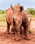 Young white rhinoceros seems to approach observer, but is actually working along a rubbing post. Color is that of the soil that rhinos dust bathe in regularly. [Secret Location] © David A. Ponton