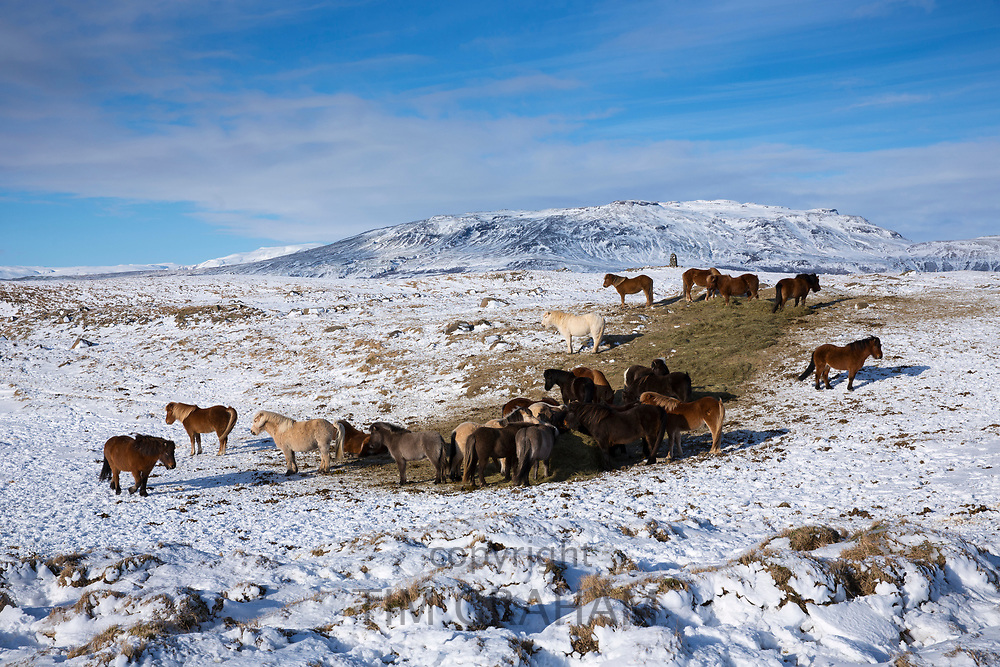 Herd of Icelandic ponies in glacial landscape of South Iceland with Uthlioarhraun mountains behind