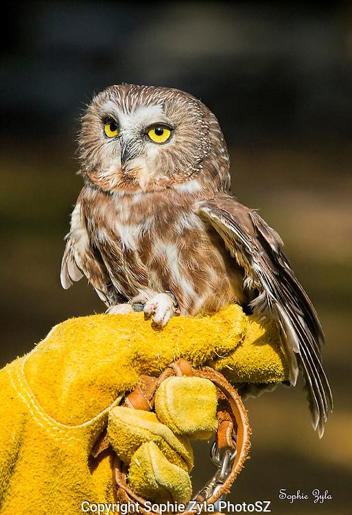 Northern Saw-whet Owl Cedar APCH