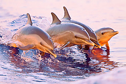 pantropical spotted dolphins, Stenella attenuata, juveniles and baby, doing synchronized jumping out of boat wake at sunset, Kona, Big Island, Hawaii, USA, Pacific Ocean