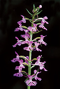 Small purple-fringed orchid (Platanthera psycodes)<br />Buffalo Point<br />Manitoba<br />Canada