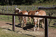 Hunter Valley Farmstay at Fernances Creek Farmstay, Laguna, Hunter Region of NSW, Australia. The Clubhouse is a converted winery set in a beautiful vineyard. Purebred Haflinger Horses grazing.