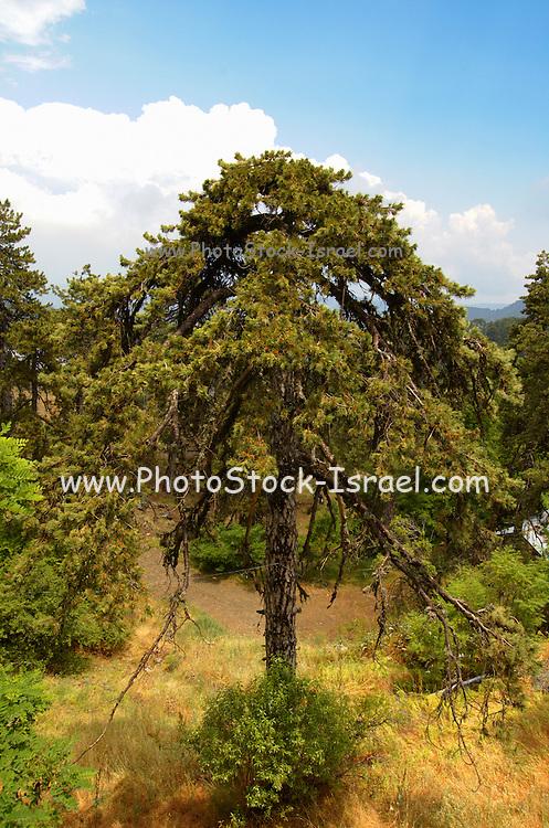 Cyprus, Troodos mountains, Black pine tree Pinus nigra