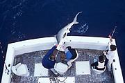 sport fishermen with captured scalloped hammerhead shark, Sphyrna lewini, Miami, Florida, USA ( Western Atlantic Ocean )