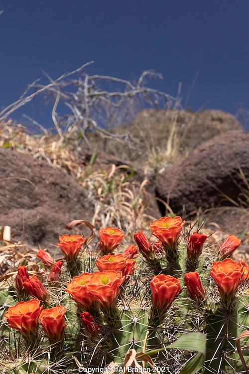 Claret Cup Cactus, Echinocereus coccineus, along Limpia Creek
