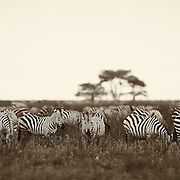 """""""Serengeti Zebras""""                                        Tanzania<br /> We left Ndutu in the morning and drove straight into the oncoming Great Migration. In the front of the migration was a herd of zebras numbering in the thousands leading the way. We drove 50+ miles that day to our next destination, and in that time never left that giant heard they call the Great Migration"""