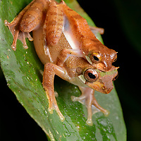 A pair of Short-nosed Tree Frogs (Leptomantis gauni) in amplexus, perched on the foliage of a tree on the bank of a clear stream. Eggs will be deposited in a foam nest overhanging the water so that the emerging tadpoles can drop directly into the stream below. Sarawak, Malaysia (Borneo).