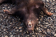 Madre Deus de Minas_MG, Brasil...Jaratataca morta na BR 383 em Madre Deus de Minas...The dead skunk on the BR 383 in Madre Deus de Minas...Foto: LEO DRUMOND / NITRO