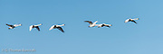 Several family groups of tundra swans took off from Skagit Bay and flew over Hayton Reserve heading inland to feed.