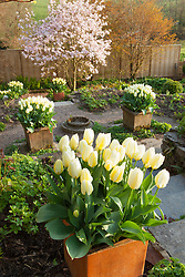 Tulipa 'Purissima' in square terracotta pots lining the steps with Magnolia x loebneri 'Leonard Messel' in the distance