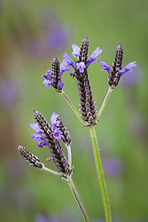 Lavandula multifida 'Spanish Eyes'. Lavender