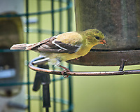 American Goldfinch. Image taken with a Nikon D5 camera and 600 mm f/4 VR lens (ISO 450, 600 mm, f/5.6, 1/1250 sec)