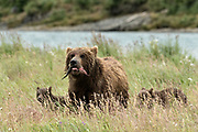 A brown bear sow and spring cubs feed on salmon in the grass at the McNeil River State Game Sanctuary on the Kenai Peninsula, Alaska. The remote site is accessed only with a special permit and is the world's largest seasonal population of brown bears in their natural environment.
