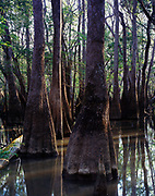 Flooded southern bottomland forest between Kennedy Creek and the Apalachicola River, Florida.
