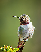 Broad-tailed Hummingbird (Selasphorus platycercus). Lily Lake, Rocky Mountain National Park, Colorado. Image taken with a Nikon D300 camera and 80-400 mm VR lens.
