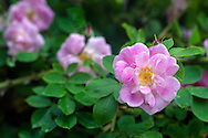"""A """"wild"""" rose that has sprouted from the root stock of a hybrid rose blooms in a backyard garden"""