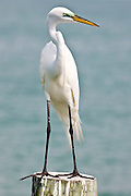 Great White Egret, Ardea alba, also known as the Great Egret or Common Egret on Anna Maria, Island, Florida, USA