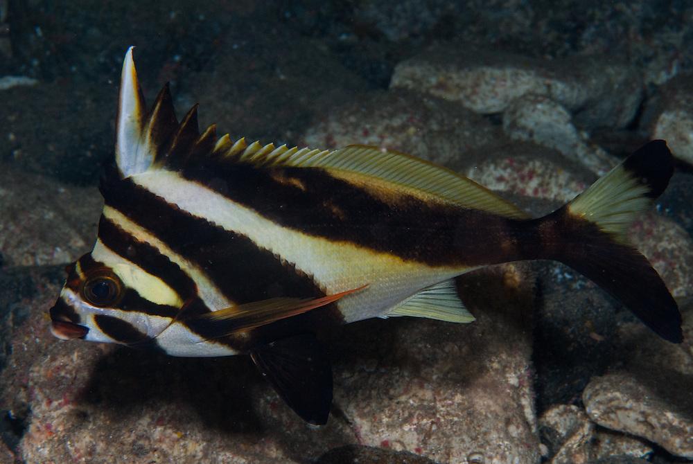 Kermadecs Marine Reserve, Masked Moki, Goniistius francisi