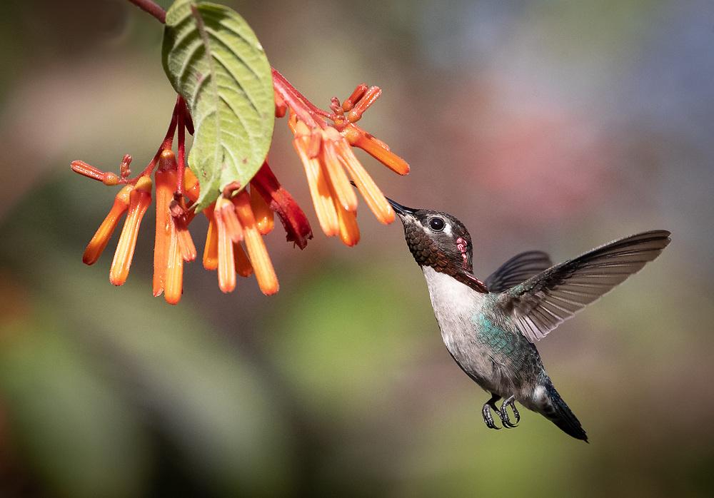 Mellisuga helenae, mature male, Zapata Peninsula, Cuba. This is the world's smallest bird.