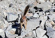golden-mantled ground squirrel (Callospermophilus lateralis) photographed at Mount Tallac trailhead, California, USA