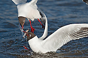 The Black-headed Gull is a bold and opportunist feeder and will eat insects, fish, seeds, worms, scraps and carrion in towns, or take invertebrates in ploughed fields with equal relish.