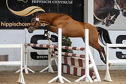 009, Pedro<br /> Hengstenkeuring Brp- Azelhof - Lier  2021<br /> © Hippo Foto - Dirk Caremans<br /> 14/04/2021