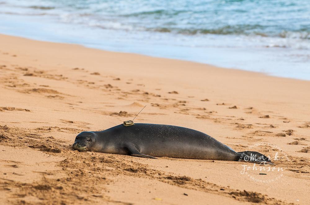 Hawaiian Monk Seal with radio tracking device on its back, Kauai, Hawaii