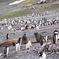 Elephant seals lounge amidst a colony of gentoo penguins on Barrientos Island.