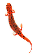 Red Salamander (Psedudotriton ruber)