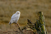 The Snowy Owl rested peacefully on a dead branch just above the grassland-marsh.  It ocassionally looked lazily from side to side.