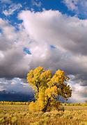 Lone Narrowleaf Cottonwood at Sunset, Grand Teton National Park, Wyoming