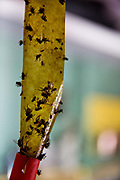 Sticky Fly trap with dead flies hanging.