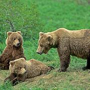 Alaskan Brown Bear, (Ursus middendorffi) Sow with cubs resting on grassy slope.Alaska Peninsula.