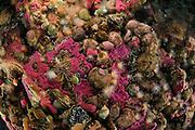 undiscribed sponge and Halcurias pilatus, Arbacia dufresia. Comau Fjord, Patagonia, Chile | Der rosa Schwamm ist eine neue Art und bisher unbeschrieben. Weitere Organismen sind Halcurias pilatus, Arbacia dufresia...