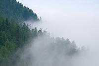 European larch tree, Larix decidua, mountain area near Steg, Liechtenstein