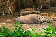 Babirusa exhibit (Babyrousa babyrussa) at the Singapore Zoo, Singapore, Republic of Singapore