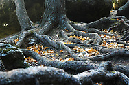 Old tree roots on an autumn day collect leaves.