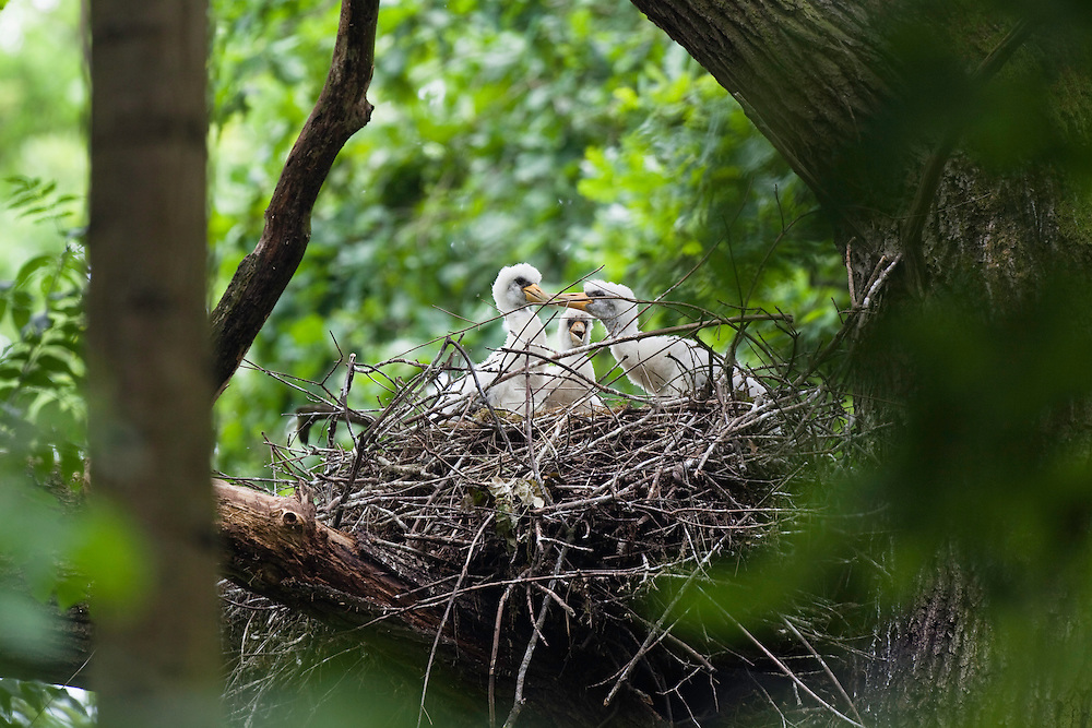 Black Stork chicks in nest, Ciconia nigra, Eastern Slovakia, Europe, Schwarzstorch-Küken im Nest, Ciconia nigra, Slowakei, Europa