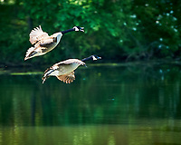 Canada Geese at the Sourland Mountain Preserve. Image taken with a Nikon D3s camera  and 500 mm f/4 VR lens.