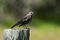 Female Brewer's Blackbird, Euphagus cyanocephalus, perches on a fence post near Bodega Bay, California