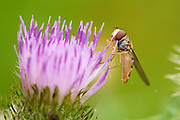 Marmalade hoverfly clutching the side of a meadow thistle flower while collecting nectar.