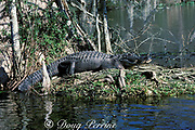 American alligator,<br /> Alligator mississippiensis<br /> Wakulla Springs, Florida